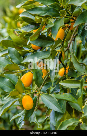 Nagami Kumquats (Fortunella margarita) growing on tree - Stock Photo