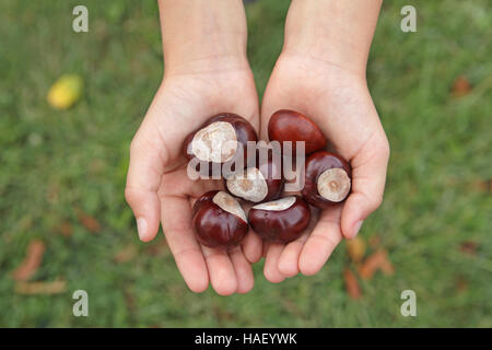 Child's cupped hands holding a pile of horse chestnuts conkers in autumn - Stock Photo