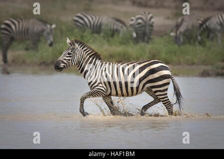 Plains Zebra (Equus quagga) running through water - Stock Photo