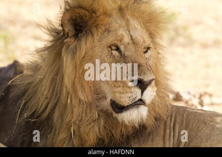 Male lion resting in the shade - Stock Photo