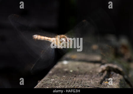 Female Common Darter Dragonfly - Sympetrum striolatum at Whisby Nature Park, Near Lincoln, Lincolnshire, UK - Stock Photo
