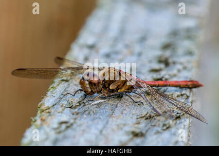 Male Common Darter Dragonfly - Sympetrum striolatum at Whisby Nature Park, Near Lincoln, Lincolnshire, UK - Stock Photo