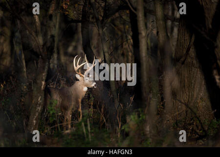 A large Whitetail Deer buck stands in a spotlight of sun in the woods early one morning. - Stock Photo