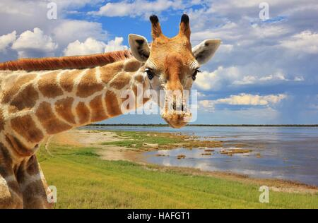 Giraffe - African Wildlife in the Wilds - - Stock Photo