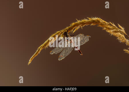 Male Ruddy Darter Dragonfly - Sympetrum sanguineum, photographed within a controlled studio environment. - Stock Photo