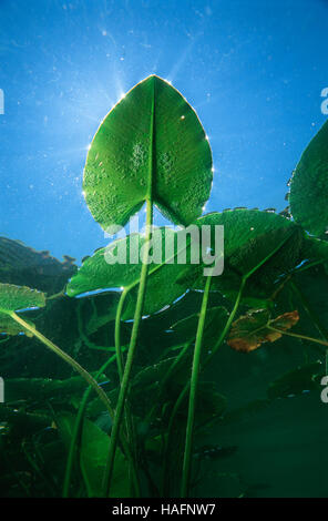 Underwater view of a leaf of a spatterdock, yellow water lily (Nuphar lutea), Lunz am See, Lower Austria, Europe - Stock Photo