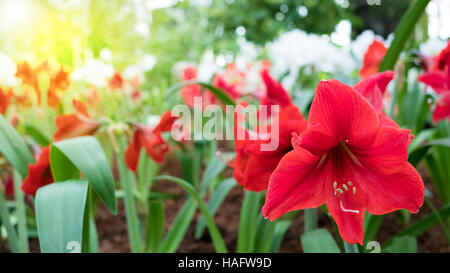 red amaryllis flower on the trees - Stock Photo