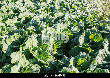 Green lettuce on planted in the winter. - Stock Photo