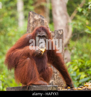 orangutans are the two exclusively Asian species of extant great apes. Native to Indonesia and Malaysia, orangutans - Stock Photo