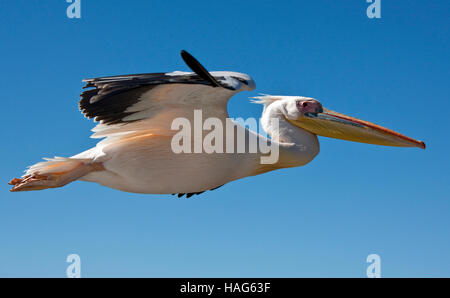 A Great White Pelican - Pelecanus onocrotalus - in flight over the sea near the coast of Namibia - Stock Photo