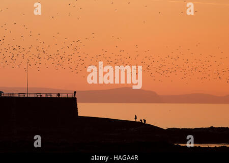 Aberystwyth, Wales, UK. 30th Nov, 2016. Flocks of starlings swiring over the sea off Aberystwyth whilst silhouetted - Stock Photo