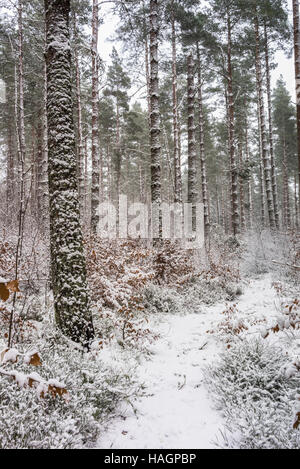 Snow on Pine at Torbreck Forest in Scotland. - Stock Photo