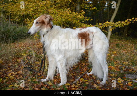 White-golden borzoi stands for a portrait in the autumn forest. - Stock Photo