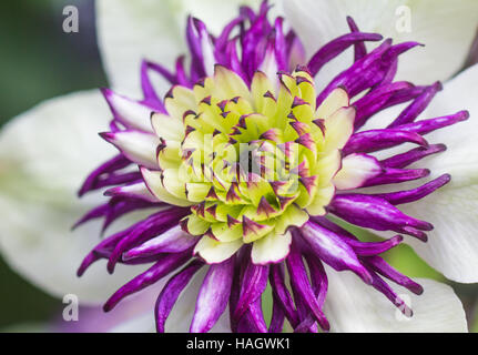 Clematis Florida in White and Purple - Stock Photo