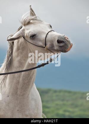 funny portrait of white horse - Stock Photo