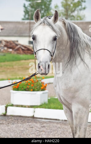 portrait of white arabian horse - Stock Photo