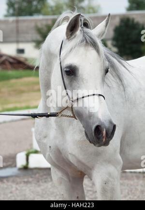 portrait of white arabian horse. close up - Stock Photo