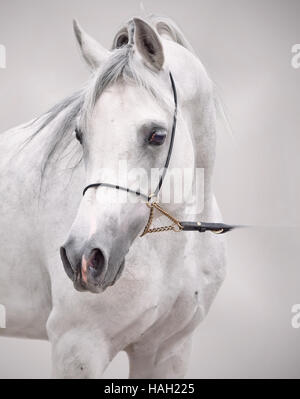 portrait of white arabian horse. at grey background - Stock Photo