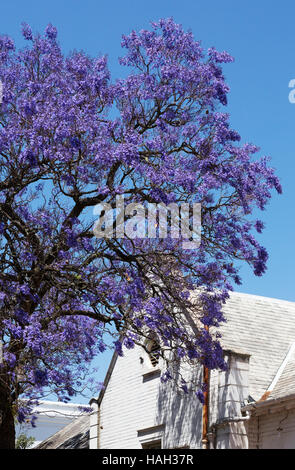 Jacaranda tree with purple flowers stock photo 310871866 alamy blue purple flowers on a jacaranda tree against a white building stellenbosch south africa mightylinksfo