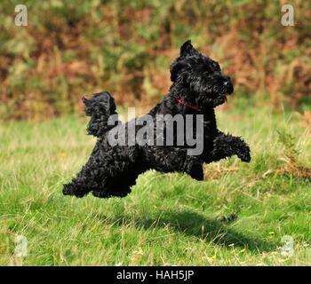 black cockerpoo uk fall - Stock Photo