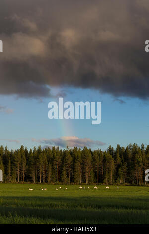 Whooper Swan (Cygnus cygnus), flock resting on the grass with rainbow in background - Stock Photo