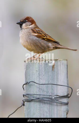 House Sparrow (Passer domesticus), adult male standing on a post - Stock Photo