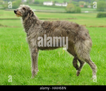 deerhound dog - Stock Photo