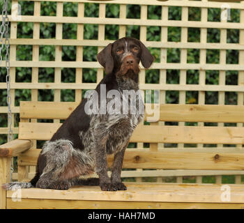 german wirehaired pointer uk full tail summer - Stock Photo