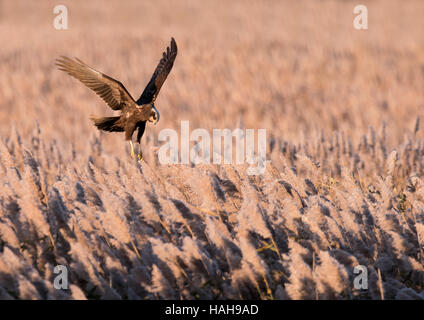 A female Marsh Harrier (Circus aeruginosus) hovering over prey on a Suffolk reedbed - Stock Photo