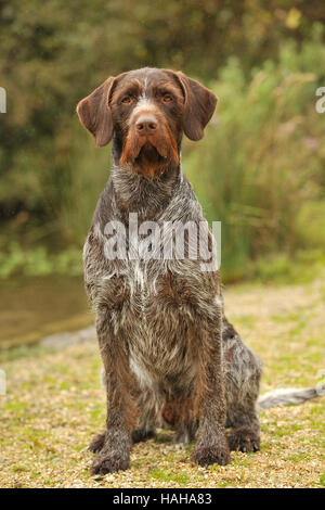 german wirehaired pointer dog - Stock Photo