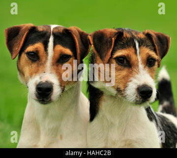 two jack russells - Stock Photo