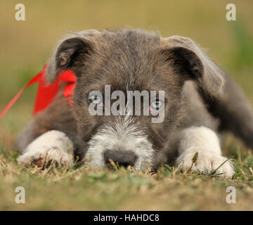 staff bull terrier x jack russell puppy 14 weeks - Stock Photo