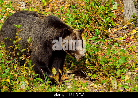 An adult grizzly bear  Ursus arctos; walking forward through the autumn colored vegetation - Stock Photo