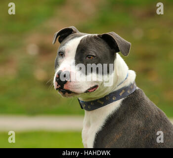 staffordshire bull terrier blue and white UK - Stock Photo