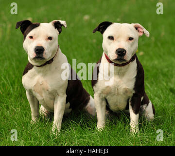 staffordshire bull terriers litter brothers pied. - Stock Photo
