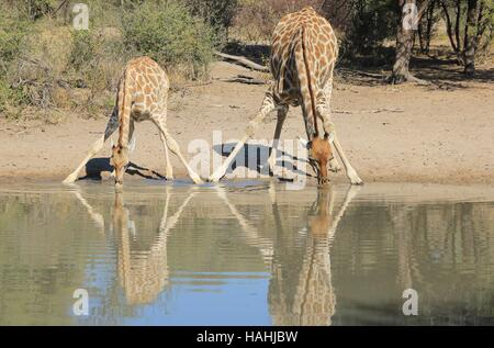 Giraffe Background - African Wildlife in the Wilds - Baby Animals and Interesting Poses in Nature - Splits for Sips - Stock Photo