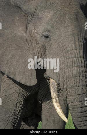African Elephant (Loxodonta africana) close up of eye and tusk - Stock Photo