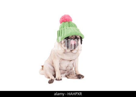 pug puppy dog sitting down, wearing a green knitted hat with pink pompon and licking nose, on white background - Stock Photo