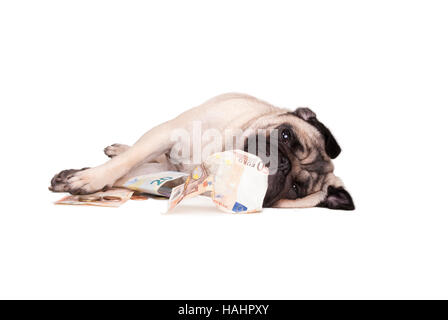 pug dog puppy playing around with money, euro - Stock Photo