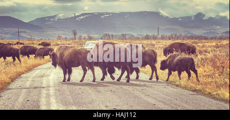 Retro toned Herd of American bison (Bison bison) crossing road in Grand Teton National Park at sunrise, Wyoming, - Stock Photo