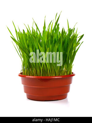 grass in flowerpot isolated on white - Stock Photo