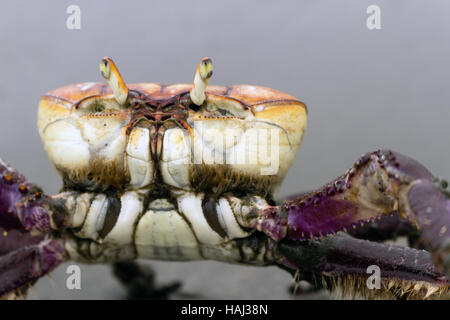 Mangrove crab (Ucides cordatus) known as 'caraguejo uçá' walking on the beach - Stock Photo