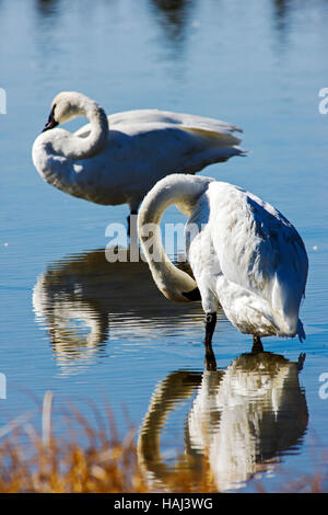 Trumpeter Swans (Cygnus buccinator), largest native North American bird, Gardners Hole, Yellowstone National Park; - Stock Photo