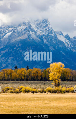 Golden Aspen trees, ranch pasture with horses, and the Teton Mountains in the background, Grand Teton National Park, - Stock Photo
