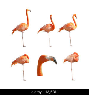 Greater Flamingos sleeping resting and standing isolated on white background. Pack of images. - Stock Photo