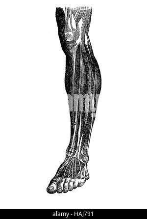 Anatomy, human musculature; foot, shank,knee - Stock Photo