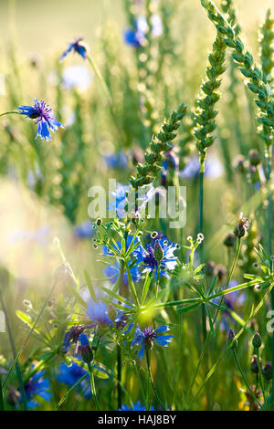 Field of Wheat and Cornflowers in Summer - Stock Photo