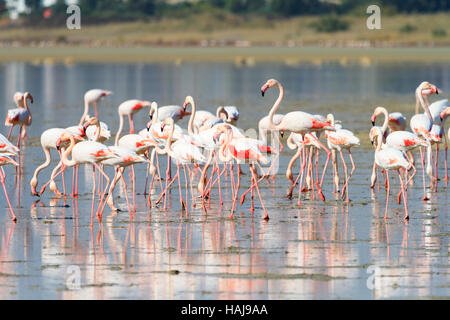 A flock of flamingos feeding in Larnaca Salt Lake during the annual migration. - Stock Photo