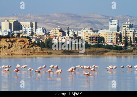 A flock of flamingos standing in the Larnaca Salt Lake, with urban buildings behind. Cyprus - Stock Photo
