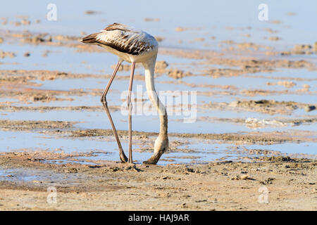Flamingo chick feeding at Larnaca Salt Lake during the annual migration to Cyprus. - Stock Photo